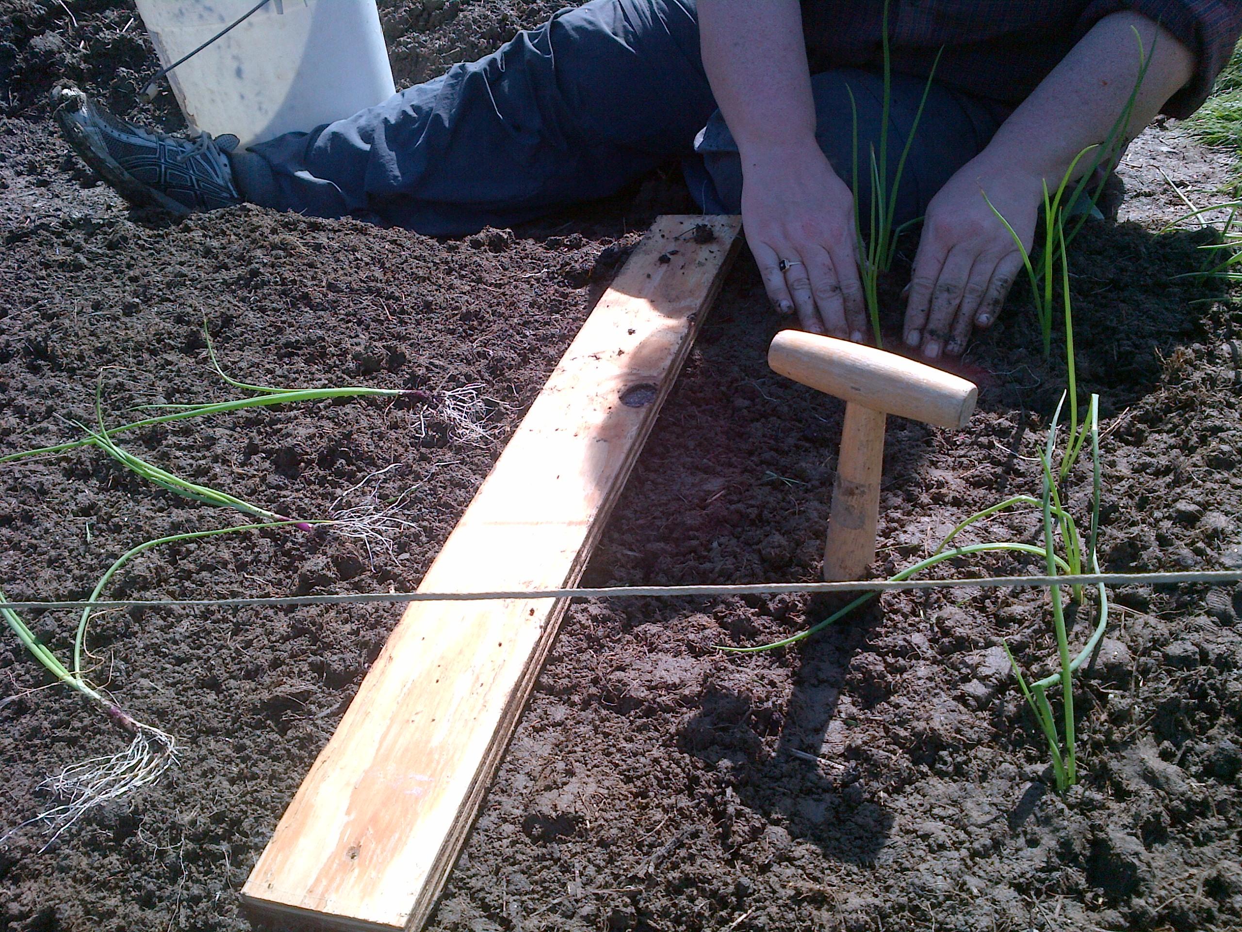 Dibbling for onion planting - red, yellow, Vidalia