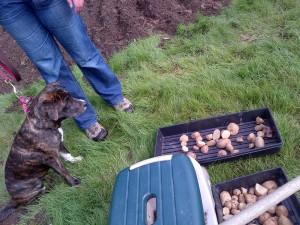 Arya dog visits the garden & checks out potatoes