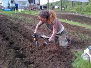 Sheryl plants potatoes