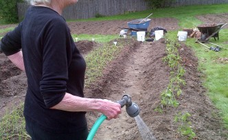 Bernice waters newly planted beefsteak tomatoes