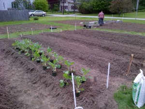 Brussels sprouts lined up for planting