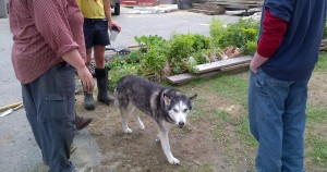 Sierra the husky dog among people deciding which seedlings to plant