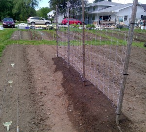 Here it is: A trellis for Mammoth Melting Peas