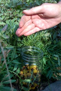 A gardener's hand drops spilanthes buds into a mason jar