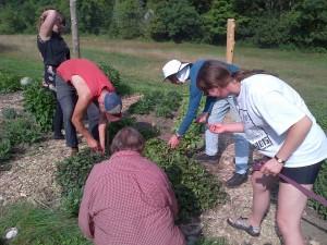 Gardeners picking spilanthes buds
