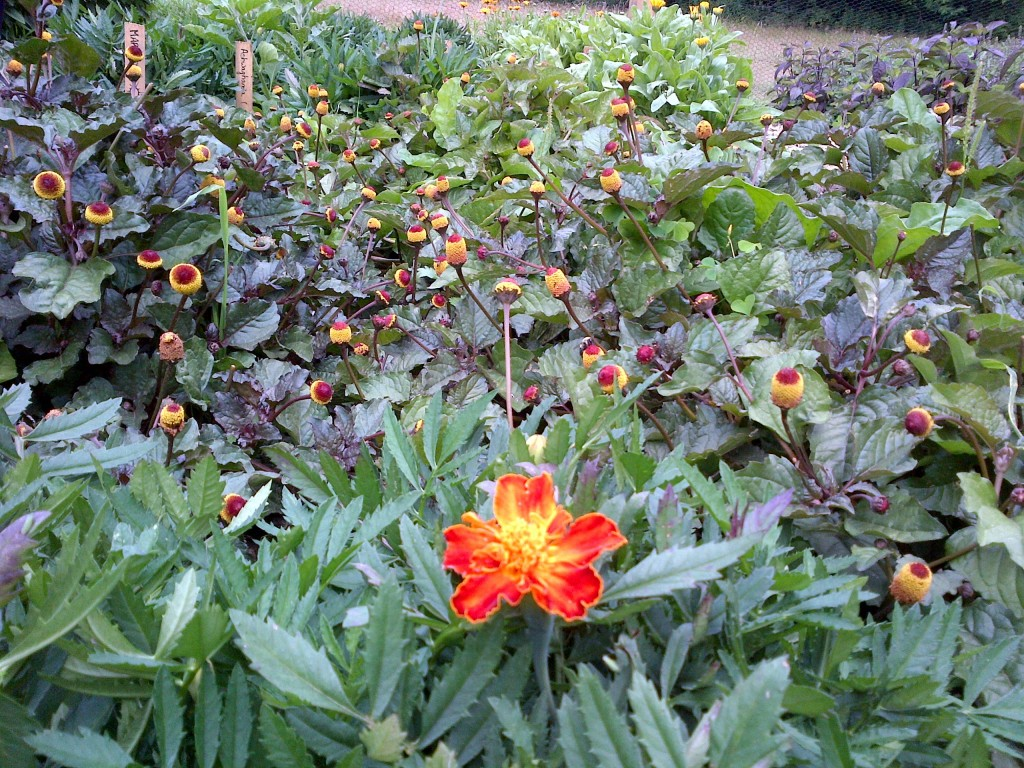 Marigold in foreground of a patch of spilanthes flowers
