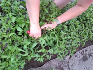 Culling flowering Thai basil