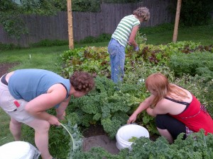 The more you pick kale plants, the more productive they are.  Volunteers leave at least eight large leaves plus the small inner leaves on each plant.