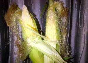 Two fresh, unshucked corn ears against a silver curtain