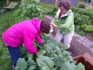 Karen & Allison thin collard greens