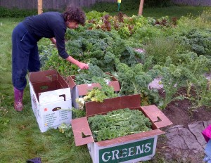 Karen picks kale. The boxes fill quickly. The super-productive plants still have many, many leaves on them.