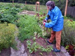 Maribeth picks beets