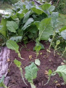 The plants in front, about half the collard greens, have been thinned.  In a week, they'll be ready to harvest again.