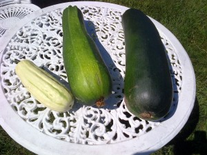 Zucchini measured in feet, not inches