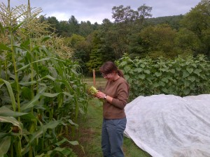 Colleen finds nearly ripe ears in the third (and last) planting of corn.