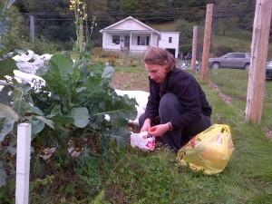 Sam picks cherry tomatoes. Many are still ripening.