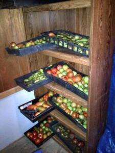 092314 Tomatoes on bookshelves in garage