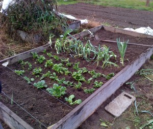 Replanting food to extend growing and harvesting into the winter.