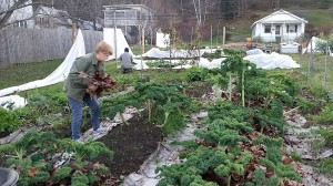 Adding leaves for mulch around still-productive beds. We'll be eating kale, collards, chard, spinach, and bok choy for some time yet.