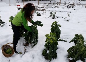 113014 SRA picks Brussels sprouts in snow