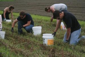 CHCV Gleaning Beets smaller