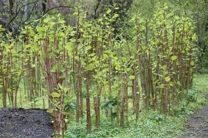 Japanese knotweed (Fallopia japonica) in The University of Helsinki Botanic Garden in Kaisaniemi