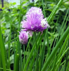 Chives and chive flowers are delicious