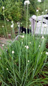 072115 Bed 8 garlic chives