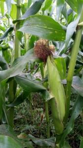 082115 Corn in 6a