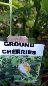 082115 Ground cherries 2a