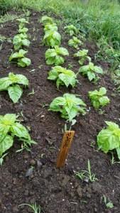 082115 Lettuce leaf basil in 7c