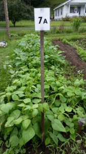 082115 New Bush Beans in 7a