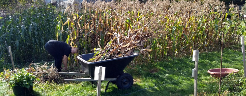 Elizabeth hacks down corn stalks and loads them up for the ride to the chipper.