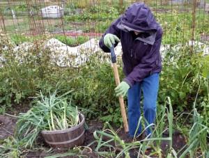 Bernice harvests leeks ahead of tonight's hard frost.
