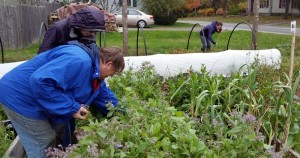 Bernice and Cindy pick borage and herbs. Sophi, in the background, pulls out bush bean plants.