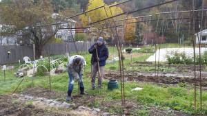 Jason and John pull out the remaining tomato trellises.