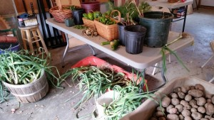 Today's harvest. See all those leeks under the table? Whatever the gardeners don't take will go to the Unitarian Church of Montpelier's community lunch, where Cindy's been bringing food for 50 every Monday, all season long.