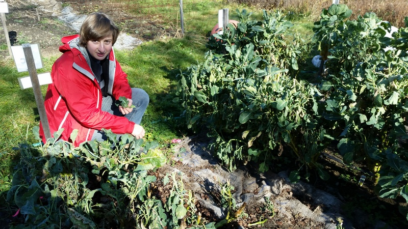 Ella picks the last broccoli florets before uprooting and composting the plants.