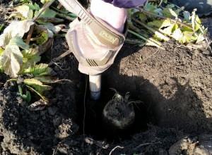 120915 Chris picks giant parsnip4
