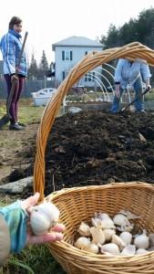 121315 Planting garlic mid-December3