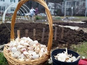 121315 Planting garlic mid-December5