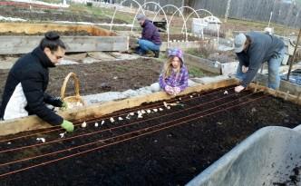 2016-04-09 Lining up garlic to plant.25