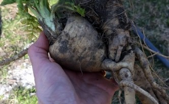 20160416_164239 Parsnips intertwined