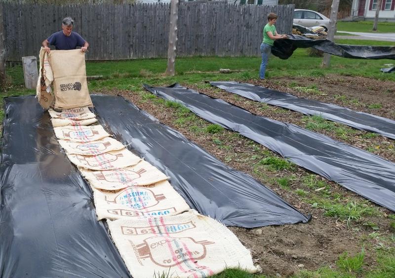 2016-05-07 Albert puts coffee bags on brassica beds.56