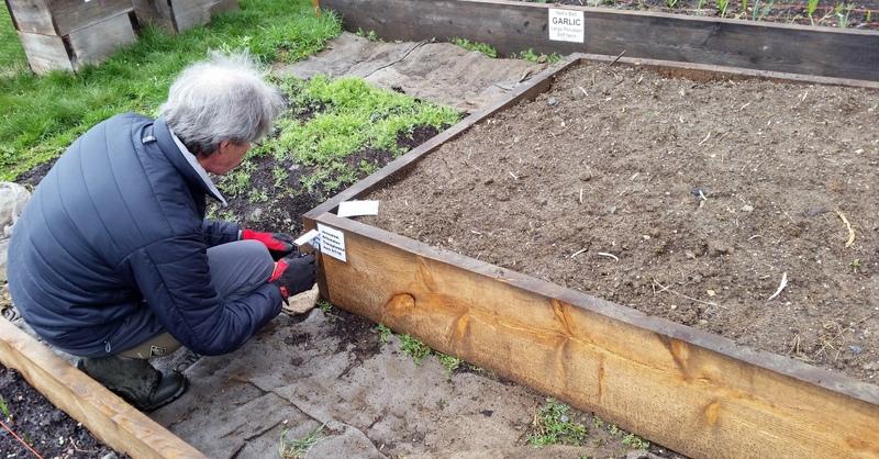 2016-05-08 CA Labeling Jerusalem artichoke bed.03