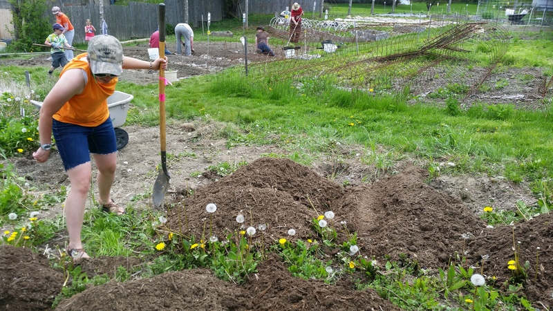 2016-05-21 Laura digs herbs for field planting.13