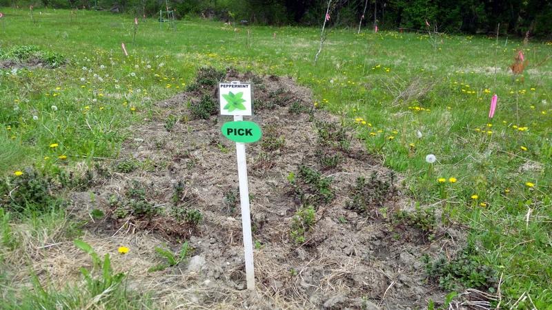 2016-05-21 Peppermint field herbs.26