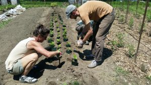 Today this row was planted with celery, fennel, eggplant, and okra.