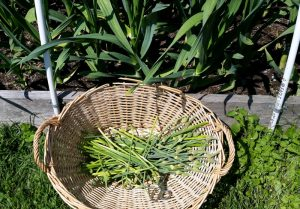 Garlic scapes are delicious in salads, stir fries, and pesto. They also freeze well for a winter blast of summer flavor.