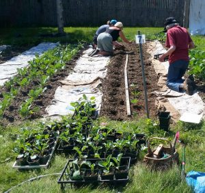 All remaining cauliflower seedlings are planted.